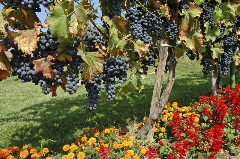 Companion Planting With Grapes - Che cosa piantare intorno all'uva