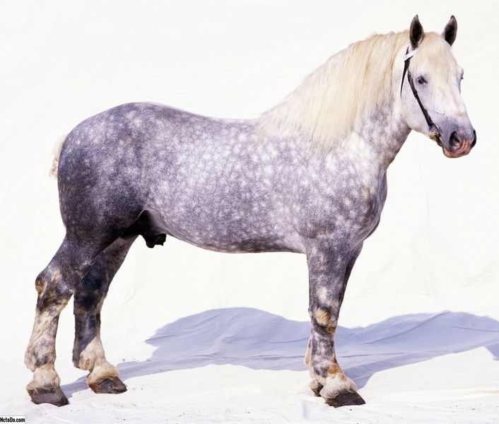 Percheron Horse Breed Profil