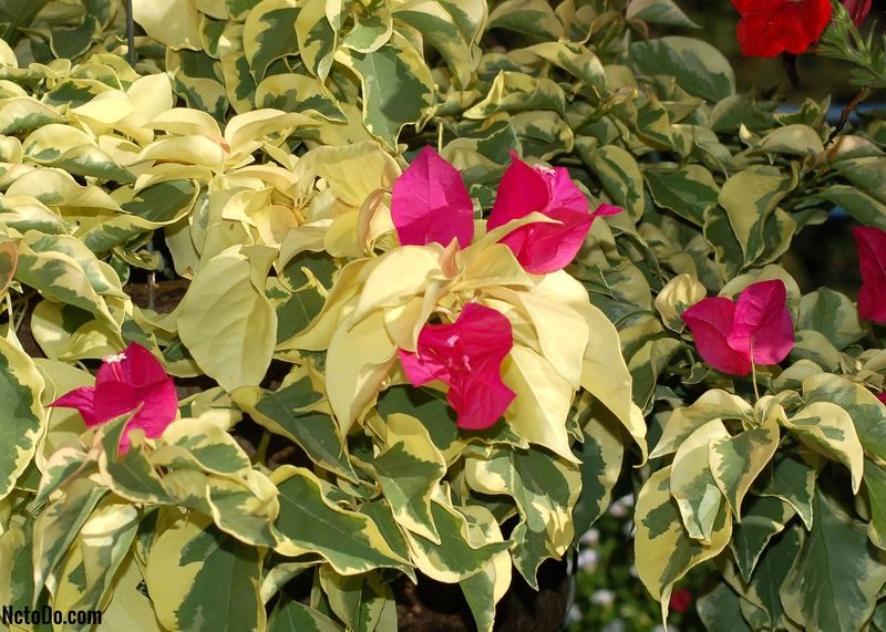 Bougainvillea Vines