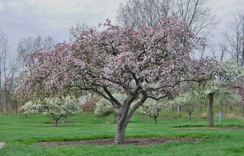 Growing Crabapple Trees - Cara Merawat Pohon Crabapple