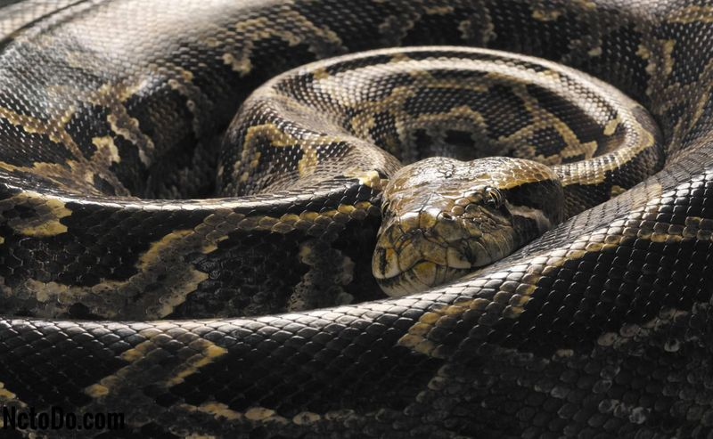 Burmese pythons as Pets